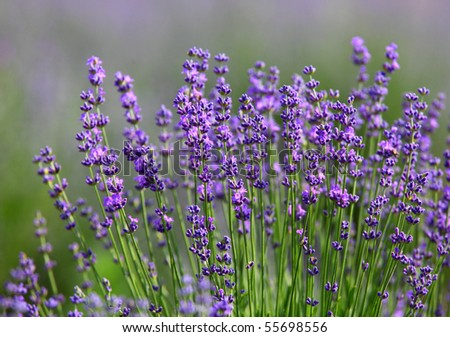 macro of lavender plant. herbal landscape of aromatic plant. - stock photo