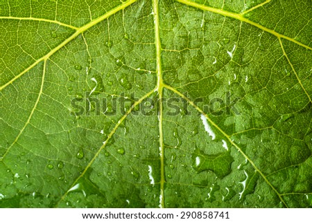 Macro of leaf structure. Drops of rain on the surface. Nature background or wallpaper.
