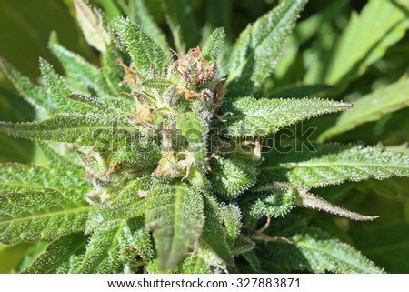Macro of mature Cannabis flower at grow operation in Malaysia immediately prior to harvest. Trichomes and other microscopic structures are clearly visible and highly detailed at full resolution. - stock photo