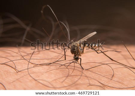Macro of mosquito sucking blood close up on the human skin. Mosquito is carrier of Malaria