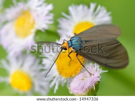 Macro moth metallic blue back orange stock photo royalty free macro of moth with metallic blue back and orange head resting on a white flower mightylinksfo