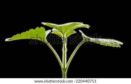 Macro of nettle green fluffy leaves isolated on black background  - stock photo