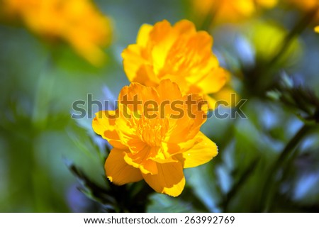 macro of orange globe-flower at the foot of the Ergaki Western Sayan on a sunny summer day