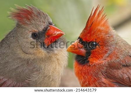 Macro of Pair of Northern Cardinals - stock photo