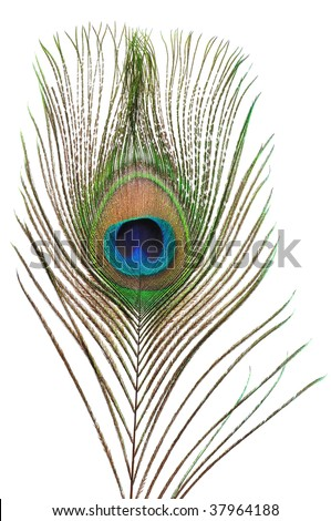 Macro of peacock feather isolated on white