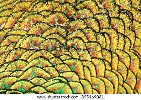Macro of peacock feathers - stock photo