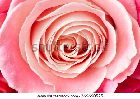macro of pink rose flower - stock photo