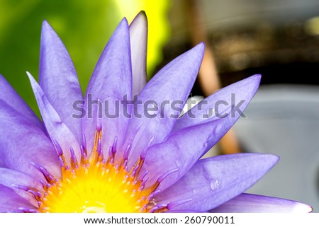 Macro of purple lotus flower with yellow center and with drops of dew on it - stock photo