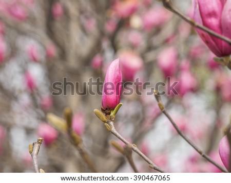 Macro of purple magnolia (Magnolia liliiflora Desr.) bud in botanical garden. - stock photo