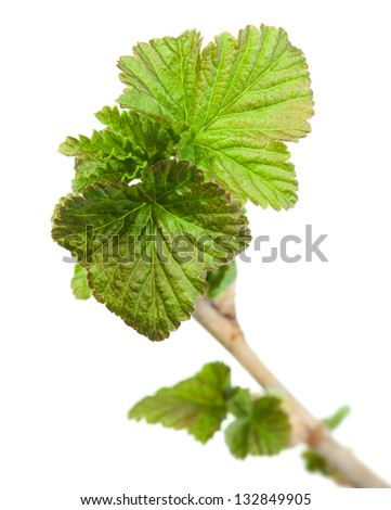 Macro of Ribes nigrum twig top with springtime first leaves isolated on white - stock photo