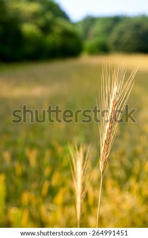 Macro of ripe wheat ear over farmland background - stock photo