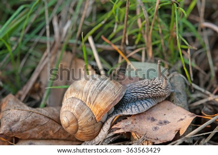 macro of Roman snail (Helix pomatia) over forest leaf litter in autumn  - stock photo