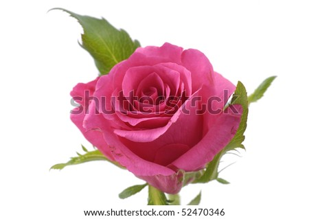 Macro of rose isolated