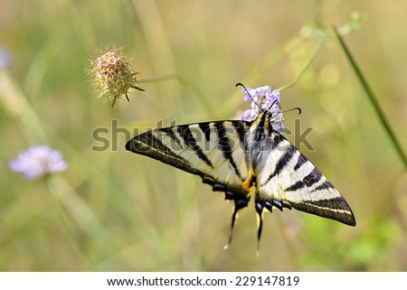 Macro of Scarce Swallowtail butterfly (Iphiclides podalirius) seen from above, feeding on flower - stock photo