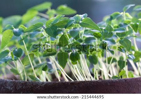 macro of seedlings - stock photo