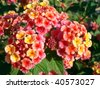 Macro of shrub verbenas or lantanas (Lantana camara) - stock photo