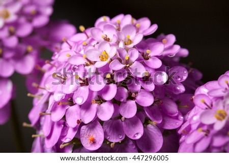 Macro of small delicate pink flower with water drops over black background