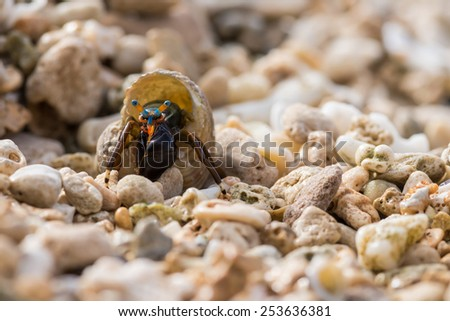 Macro of small hermit crab with blue & orange stripes - stock photo