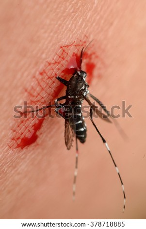 Macro of smashed mosquito (Aedes aegypti) sucking blood to died close up on the human skin. Mosquito is carrier of Malaria, Encephalitis, Dengue and Zika virus, dead - stock photo