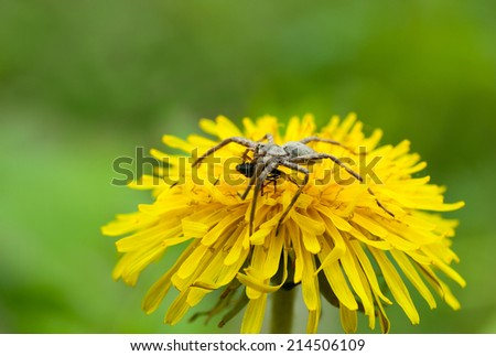 Macro of spider and its prey on dandelion flower over meadow background  - stock photo