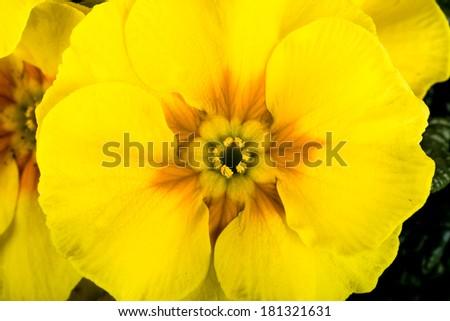 macro of spring yellow flower primrose - stock photo