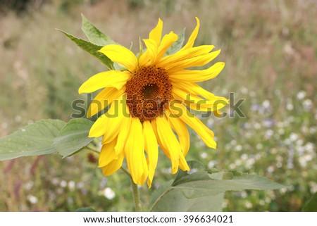 macro of sunflower in summer-yellow flowers - stock photo