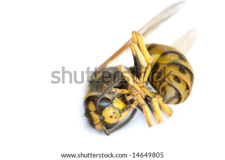 Macro of the Dead Wasp - stock photo