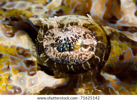 Macro of the eye of a Tentacled flathead (Papilloculiceps longiceps), also known as a crocodile fish. Taken in the Wakatobi, Indonesia.