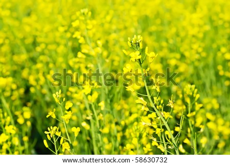 Macro of the rapeseed flowers on meadow - stock photo