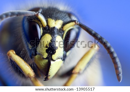 Macro of the Wasp Head on blue background - stock photo