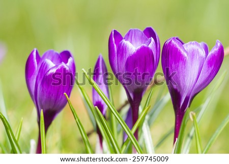 Macro of three violet crocus in spring - stock photo