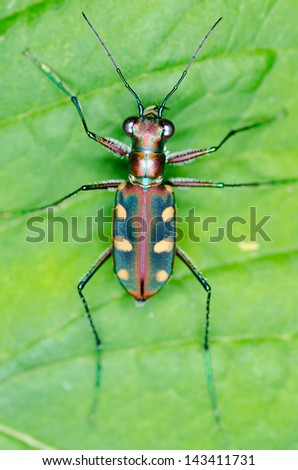 Macro of tiger beetle on green leaf at night - view from top - stock photo