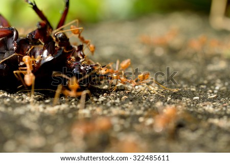 Macro of tropical red fire ants catching a prey. - stock photo