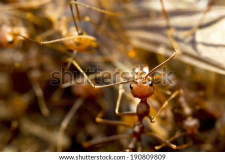 Macro of tropical red fire ants catching a prey, Borneo, Malaysia - stock photo