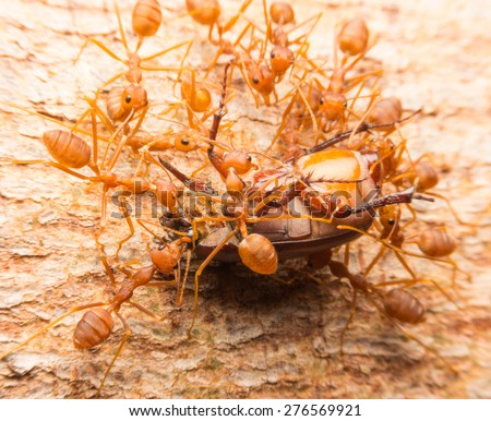 Macro of tropical red fire ants catching a prey, Thailand - stock photo