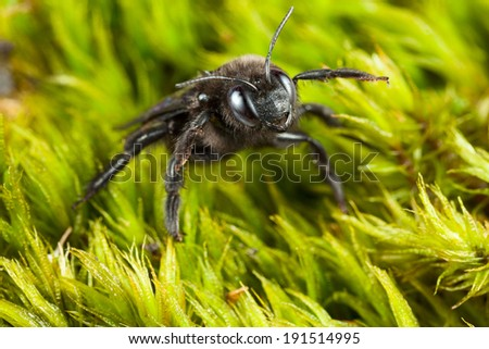 Macro of violet carpenter bee (Xylocopa violacea) in aggressive pose over green moss background