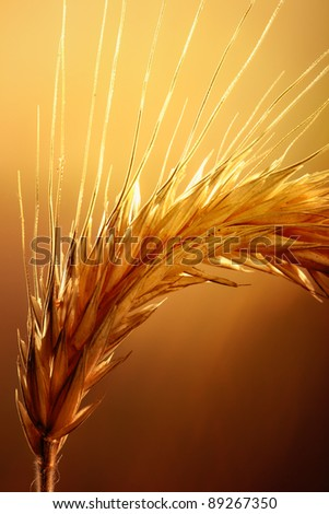 Macro of wheat plant against strong and warm backlight - stock photo