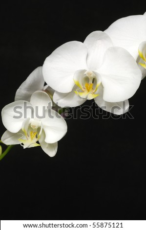 Macro of white orchid on black