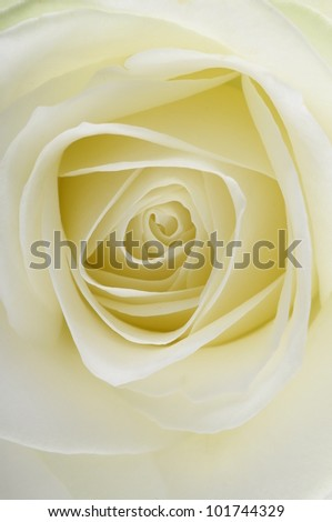 Macro of white rose heart and petals - stock photo