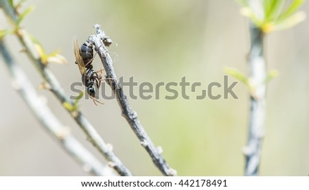 Macro of Winged Flying Ant (Formicidae) Crawling on a Branch
