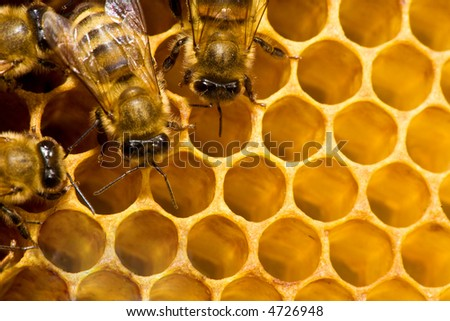 Macro of working bee on the honey cells - stock photo