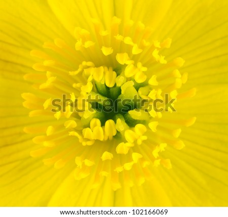 Macro of Yellow Marsh Marigold Flower Center. Closeup of Pistils, Anther with Yellow Background - stock photo