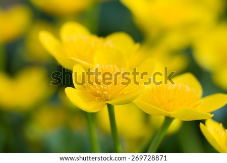 Macro of yellow marsh-marigold in spring - stock photo