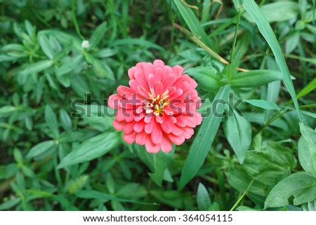 Macro of Zinnia flower in full bloom with bokeh - stock photo