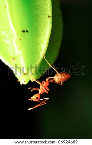 macro on carambola young fruit and ant - stock photo