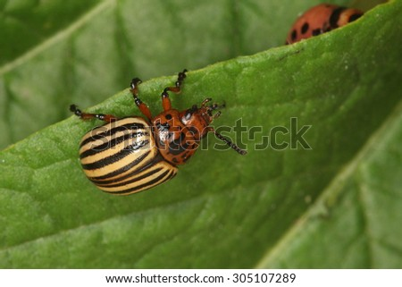 macro one colorado beetle on a green leaf  potatoes in the sunlight - stock photo