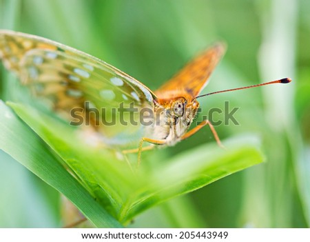 Macro orange butterfly on green leaf by summer