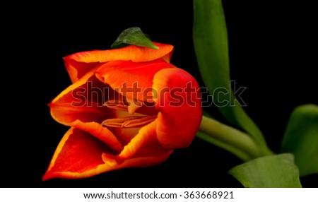 Macro Orange red tulip isolated over a black background - stock photo
