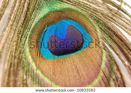 Macro Peacock Feather Isolated - stock photo