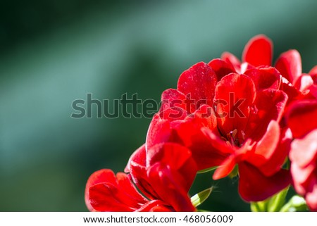 Macro photo about red flowers on green background.